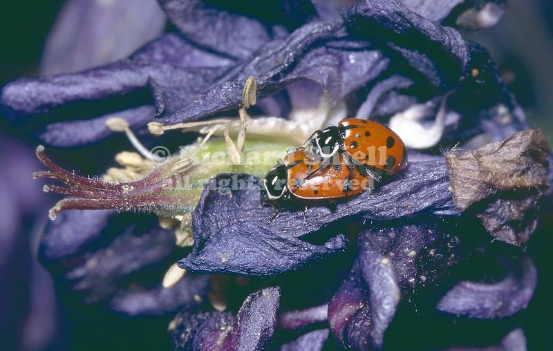 12254-HM(CK) Convergent Ladybirds, Hippodamia convergens, mating on Granny's Bonnet Columbine, Aquilegia vulgaris 'Nora Barlow', at Tehachapi, CA USA