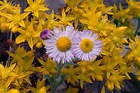 Yellow stonecrop and fleabane daisy<br /> Echo Park Road<br /> Dinosaur National Monument<br /> Colorado Plateau,  Colorado