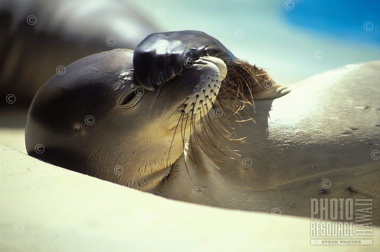 Endangered Hawaiian monk seal with flipper over face