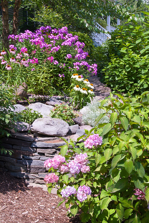 Pink Hydrangea macrophylla showing alkaline soil, with other pink color theme flowers Phlox paniculata and Echinacea purpurea & alba, stone wall raised bed, house in distance, tiered sloping hillside landscape