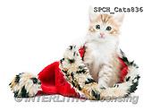 Xavier, ANIMALS, REALISTISCHE TIERE, ANIMALES REALISTICOS, cats, photos+++++,SPCHCATS836,#A#