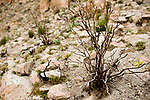 Shrub burnt to scare away predators, Abra Granada, Andes, northwestern Argentina