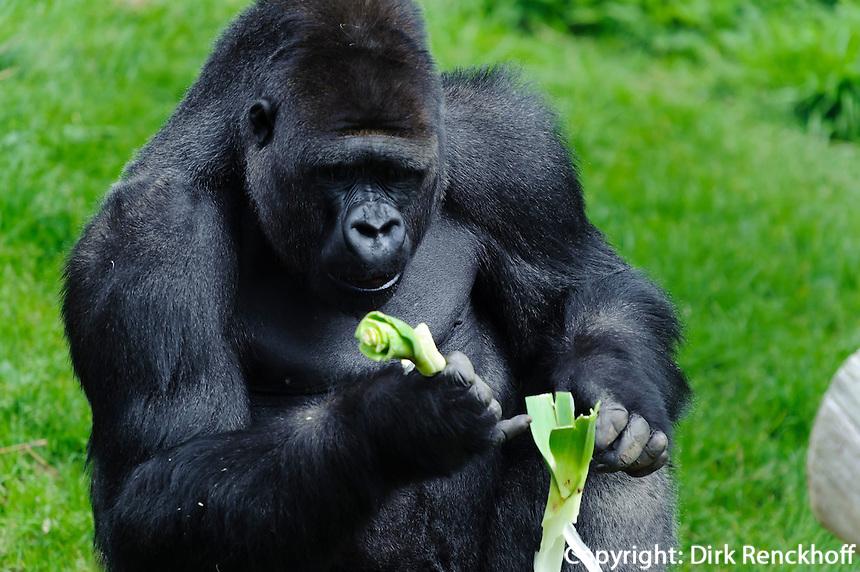 Gorilla im Zoo Durell Wildlife Conservation Trust, Insel Jersey, Kanalinseln