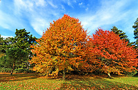 Trees and leaves in their peak of beautiful autumnal colourings around Bedford Park on a mainly sunny October afternoon. Bedford, UK October 26th 2020<br /> <br /> Photo by Keith Mayhew