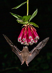 Ecuador, Andean cloud forest, tube-lipped tailless bat (Anoura fistulata)