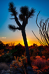 Joshua Tree with Staghorn Cholla and Ocotillo, Hualapai Mountains, Arizona.  This image was captured just before sunset one autumn about 10 years ago at the eastern edge of the Mojave Desert south of Kingman.<br /> <br /> Image ©2021 James D. Peterson