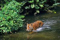 Sumatran tiger (Panthera tigris sumatrae) wading in tropical rainforest stream.