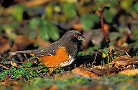 Rufous-Sided Towhee. Eating Seeds. Pacific Coast, British Columbia, Canada. (Pipilo erythrophthalmus).