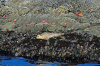 Harbor Seal basking on rocks at low tide (notice sea stars and green anemone).  Pacific Northwest.  Summer.
