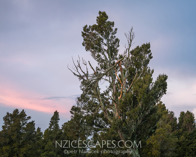 Totara tree at sunset, West Coast, New Zealand, NZ