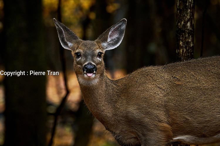 Animaux dans la nature a Montreal et les environs, 2021- cerf<br /> <br /> Photo : Pierre Tran - AQP