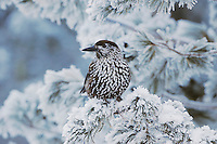Spotted Nutcracker (Nucifraga caryocatactes), adult perched on frost covered Swiss Stone Pine by minus 15 Celsius, St. Moritz, Switzerland, Europe