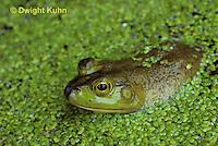FR03-005b  Bullfrog - adult in duckweed pond - Lithobates catesbeiana, formerly Rana catesbeiana