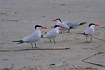Four caspian terns stand on the beach in the Gulf of Mexico