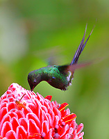 Green thorntail male