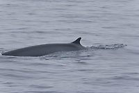 Adult fin whale (Balaenoptera physalus) sub-surface feeding in the rich waters off the continental shelf just south of Bear Island (Bjornoya) in the Barents Sea, Norway.