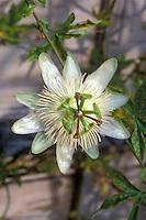 Passionflower Constance Elliott one white flower Passiflora caerulea vine