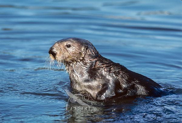 Southern Sea Otter (Enhydra lutris).  California Coast.