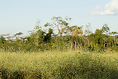 Mato Grosso State, Brazil. Aldeia Metuktire (Kayapo). delicate flowers along the path.