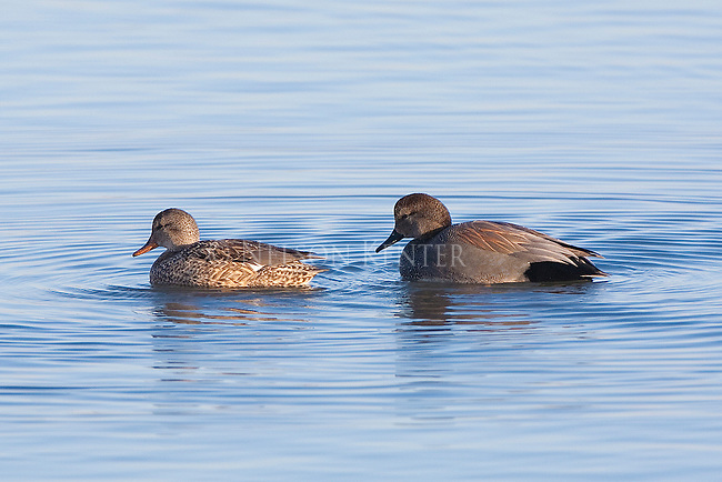 Gadwall drake and hen wintering in Montana