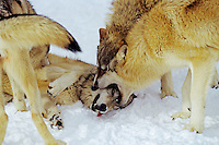 Gray Wolves (Canis lupus) displaying dominance over wolf on ground.