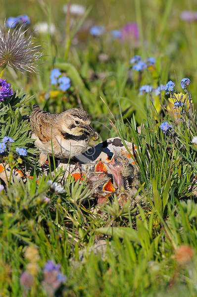 Horned Lark or Shore Lark (Eremophila alpestris) nest--female feeding young.  Western U.S., Summer.