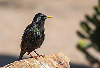 European Starling, Sturnus vulgaris, in the Riparian Preserve at Water Ranch, Gilbert, Arizona