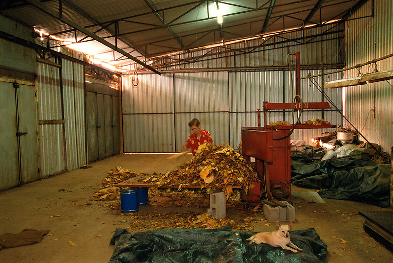 Pia Stornelli Sorting Tobacco Leaf, Stornelli's Farm, Mareeba, 2003.