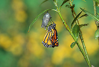 Monarch (Danaus plexippus), adult emerging from chrysalis, Hill Country, Texas, USA