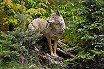 Coyote (Canis latrans) standing on a log in the spring woodland.  Minnesota.