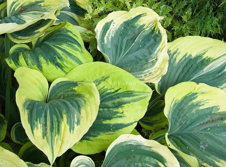Variegated hosta Magic Fire, foliage plant perennial sport of Sagae, bold leaves irregular green with  cream edged
