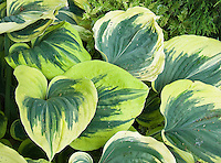 Variegated hosta Magic Fire, foliage plant perennial sport of Sagae, bold leaves irregular green with  cream edged