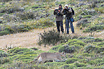 Adult puma (Puma concolor) (southern subspecies Puma concolor puma) (in N. America, cougar or mountain lion) being watched / photographed by tourists. Private ranch land (Estancia Amarga) on the outskirts of Torres del Paine National Park, Patagonia, Chile.