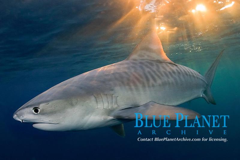tiger shark, Galeocerdo cuvier, Aliwal Shoals, Kwazulu-Natal, South Africa, Indian Ocean