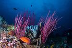 Rainbow reef w Coral Grouper