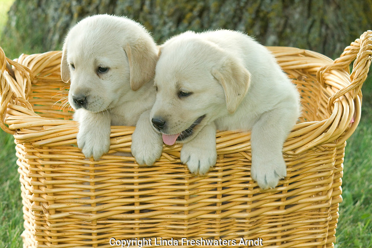 Yellow Labrador retriever (AKC) puppies hanging over the edge of a basket