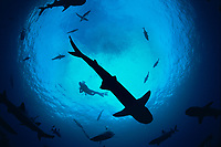Silhouetted pack of Whitetip Reef Sharks,Triaenodon obesus, following scent trail in water column. Cocos Island, Costa Rica, Pacific Ocean