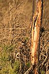 White-tailed buck rub
