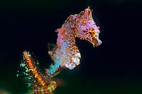 Japanese Pygmy seahorse, Hippocampus sp., , Bonin Islands, Ogasawara, Tokyo, Japan, Pacific Ocean
