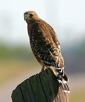 Red-shouldered hawk adult on post