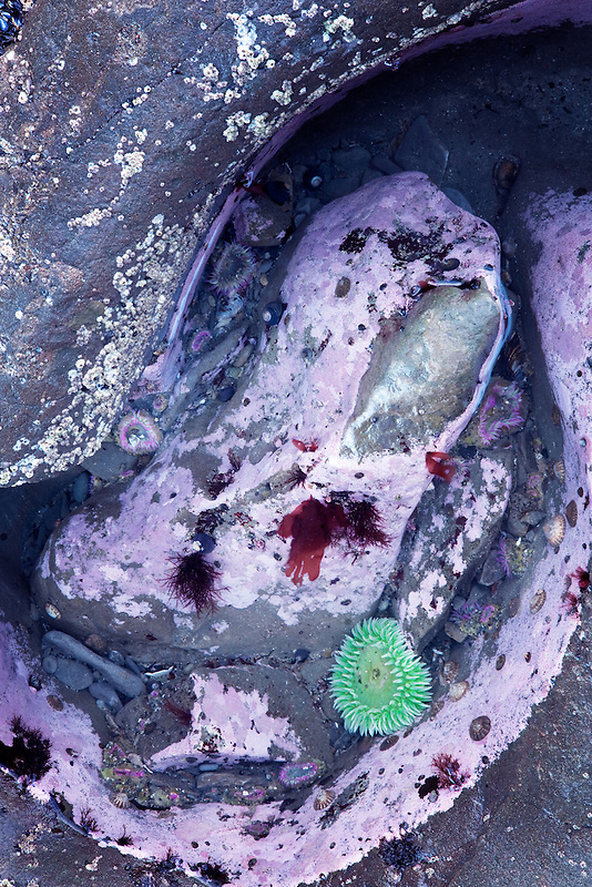 Sea Anemone in tide pool at Rialto Beach. Olympic National Park, Washington