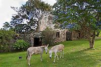 Donkeys near a Lignum Vitae Tree .Caneel Bay Resort.Virgin Islands National Park.St. John, U.S. Virgin Islands