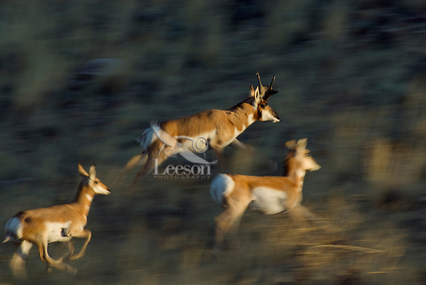 Pronghorn (Antilocapra americana) running across sage covered grasslands in the American west.  Late Fall.