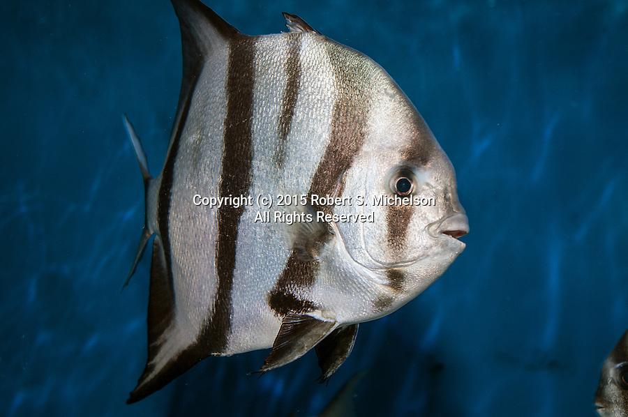 Atlantic Spadefish swimming 45 degrees to camera