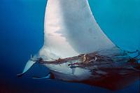 giant oceanic manta ray, Mobula birostris, formerly Manta birostris, tangled in fishing line, Monad Shoal, Philippines