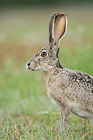 Black-tailed Jackrabbit, Lepus californicus, adult, Uvalde County, Hill Country, Texas, USA