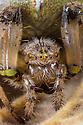 Four-spot Orb Weaver Spider female (Araneus quadratus) close up of head. Peak District National Park, Derbyshire, UK. September.