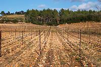 Domaine de Montcalmes in Puechabon. Terrasses de Larzac. Languedoc. Grenache grape vine variety. France. Europe. Vineyard.