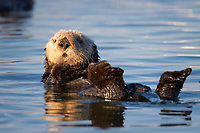 Enhydra lutris nereis, Sea otter, A sea otter resting, holding its paws out of the water to keep them warm and conserve body heat as it floats in cold ocean water,, Elkhorn Slough National Estuarine Research Reserve, Moss Landing, California, USA