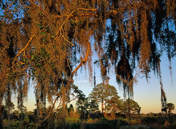 Pine trees at sunset, Oscar Scherer State Park, Florida, USA